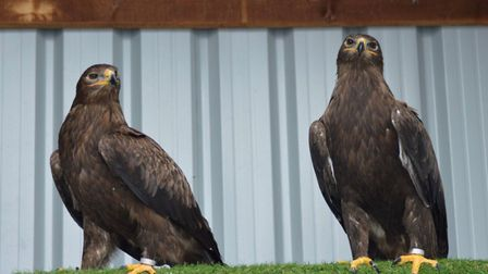 The steppe eagles at North Somerset Bird of Prey Centre.