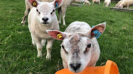 Lambs owned and nurtured by Little Orchard Beltex.Picture: Little Orchard Beltex
