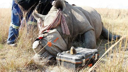 Rhinos are poached for their horns