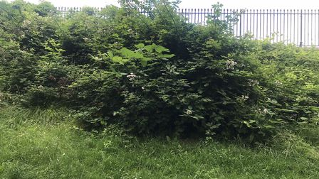 Overgrown bushes in Ashcombe Park