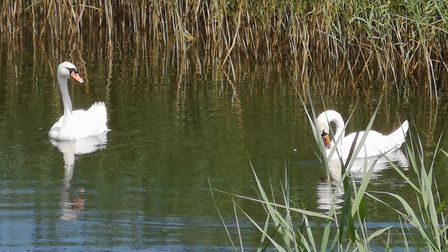 Majestic swans on the levels at Uphills nature reserve. Picture: Jacqueline Caven