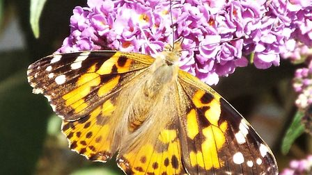 A painted lady butterfly rests on compact buddleia in Julies garden.Picture: Julie Hitchens.