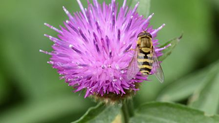 A wasp navigates the terrain of a thistle flower.Picture: Charlie Ross