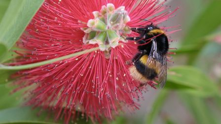 A bee sucks nectar from a bottlebrush plant.Picture: Charlie Ross