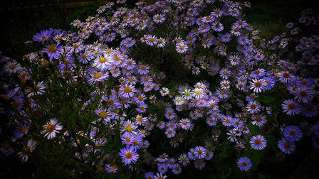 Beautiful daisies spotted in Walliscote Road.Picture: Derek Hitchins