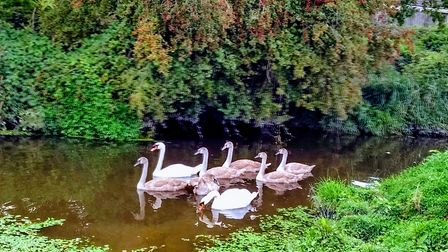 Swans take to the water at St Georges.Picture: Sarah Doe
