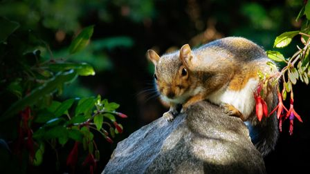 An eastern gray squirrel rests on a tree branch.Picture: Joanne Martin