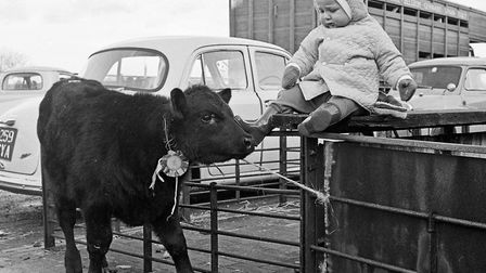 15-month-old Andrew Webber, of Bow Cottage, Kenn, with the Aberdeen Angus calf which won him first p