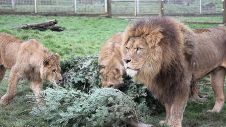 Lions with old Christmas trees. Picture: Noah's Ark Zoo Farm