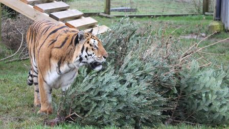 Khan the tiger plays with a tree. Picture: Noah's Ark Zoo Farm