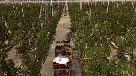 A Moroccan worker collects tomatoes at the Gava group greenhouses in Almería (Pic: AP Photo/Emilio M