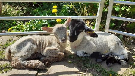 Pupils at Golden Valley Primary School have been helping to care for lambs on their playing field.