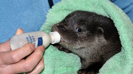 Snowflake the otter cub found in Combwich keeping warm at Secret World.