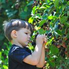 Child picking and eating ripe blackberry
