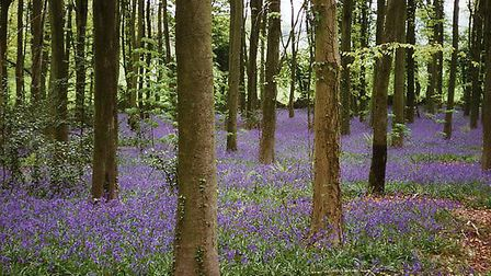 Bluebells at Goblin Combe near Cleeve © © Martin Bodman, Geographic