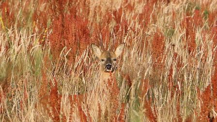 A stag finds a spot in shade in the blazing summer heat.Picture: Roger Fry