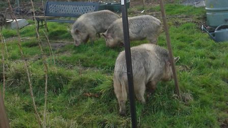 Pigs on the allotments