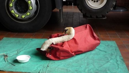 Swan rescued in St Neots awaits RSPCA