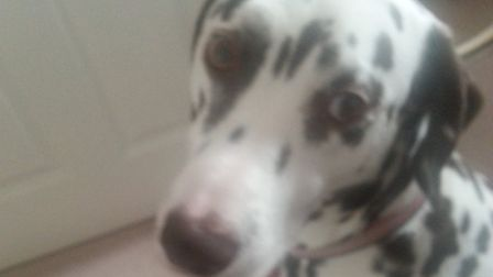 A £250 reward has been offered for Milo the Dalmatians return