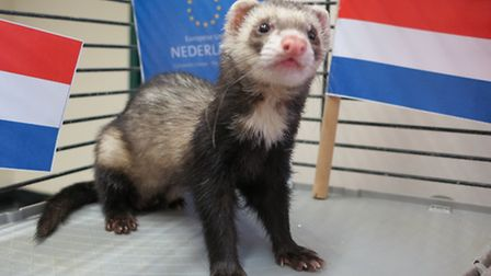 Vincent the stowaway ferret whose Dutch owner has not been traced