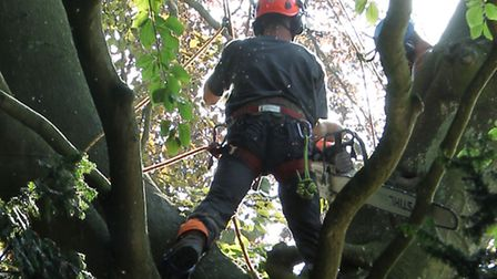 One of the tree surgeons working on the large tree in Trevelyan place