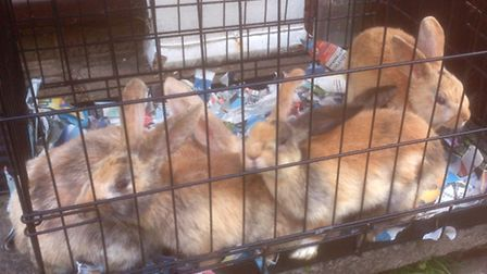 Rabbits dumped in St Albans