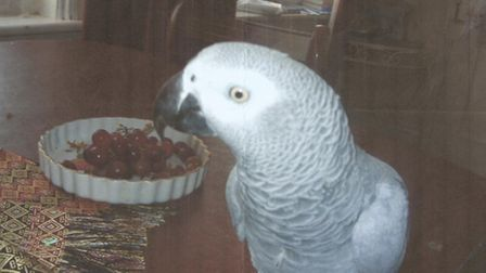 Missing African Grey parrot Randy, 7, last seen at Paxton Pits