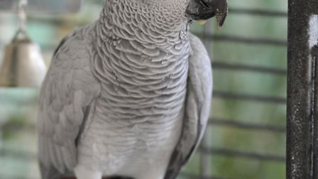 Little Paxton resident Jean Hall's parrot Randy was found in Alconbury