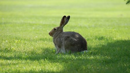 A hare from the Flickr account of Levon Levonian