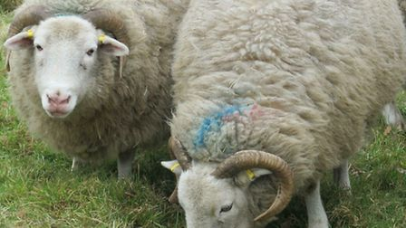 A member of the public called police after seeing sheep near the A507