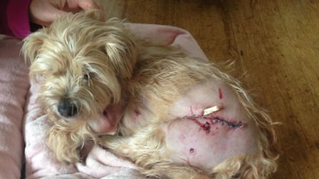 Harper sustained serious injuries after being attacked by two other dogs on the loose in Royston