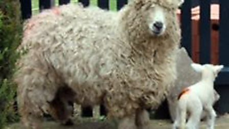 A rare sheep is believed to have been killed in Kinsbourne Green Lane