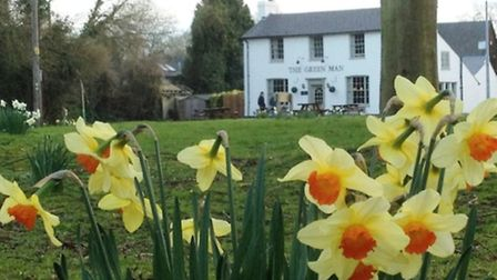 Daffodils are blooming in Thriplow ahead of the village Daffodil Festival