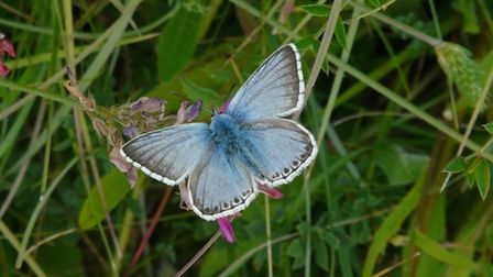 Chalkhill Blues are a rare species of butterfly in the UK but have a stronghold inTherfield Heath