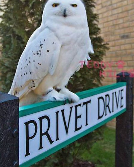 The owl who played Hedwig in the Harry Potter film series will be entertaining guests at tonight's o
