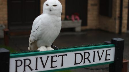 Hedwig the owl on Privet Drive, St Albans