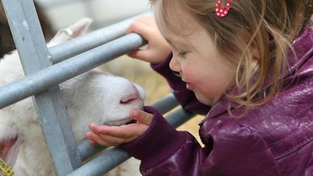 A young girl says hello to a lamb