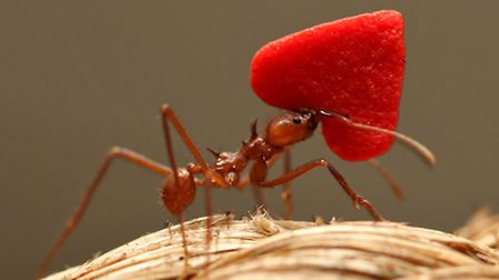 Leafcutter ants carrying hearts along ropes to their queen