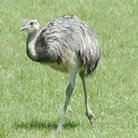 A rhea like this had been on the loose in Crow country, but has now been killed