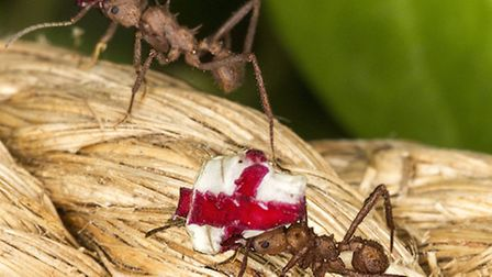 The ants supporting their team with flags - Photo Butterfly World