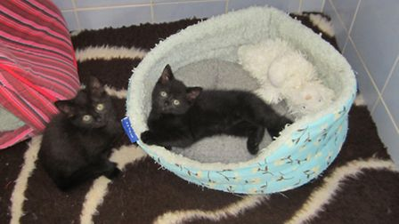 Two young kittens at the Cambs Mid-East RSPCA after being found in a carboard box