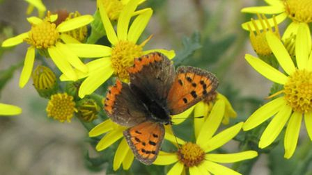 Small Copper at Bayer CropScience farm in Great Chishill