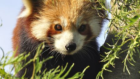 One of Shepreth Wildlife Park's red pandas gets settled in to its new home