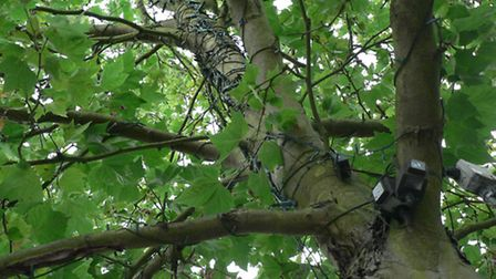 """London Plane trees in St Peter's Street, St Albans, are being """"strangled"""" by Christmas lights"""