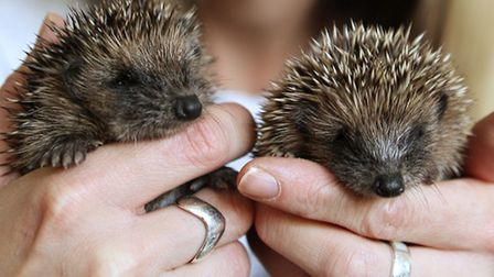 Could you help raise funds to care for hedgehogs?