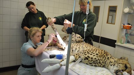 Hera the cheetah is operated on at Cromwell Vets. Picture: Lyndsay Burrell.