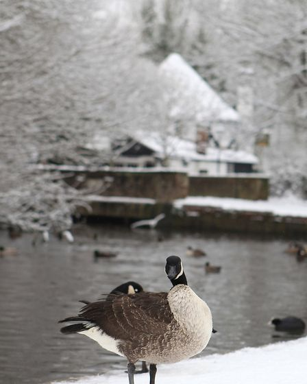 A goose preens its feathers nest to Verulamium lake