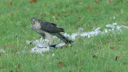 The sparrowhawk stands proudly over his prey after attacking the collared dove