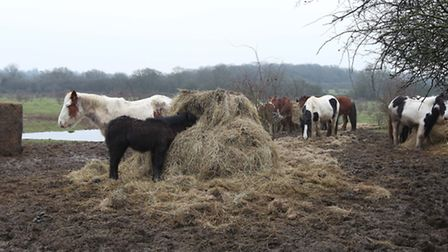 Horses which are being kept on land next to the A414