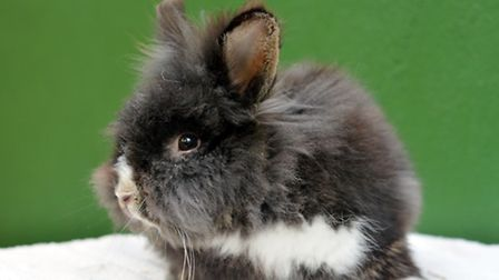 Can you offer bunnies such as Harry a temporary home? Picture: VICTORIA PHAN